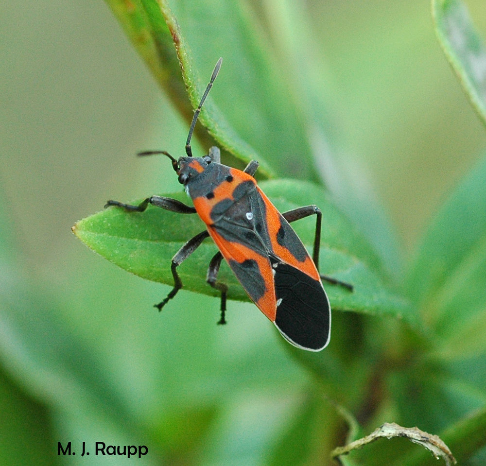 Small milkweed bugs are members of the cabal of milkweed feeders that sequester noxious cardiac glycosides from their host plant.