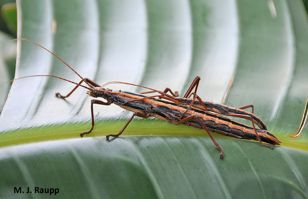 A female twostriped walkingstick dwarfs the male on her back.