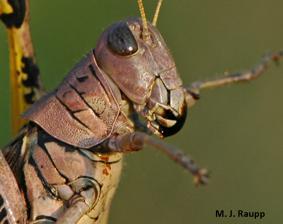When threatened, lubbers and other grasshoppers will regurgitate noxious gut contents colloquially known as 'tobacco juice' that may be repellent to predators.