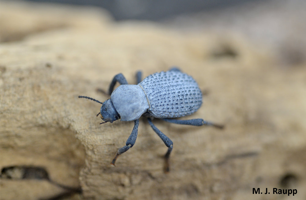 The beautiful blue patina coating the blue-death feigning beetle is a layer of wax that helps the beetle avoid desiccation.