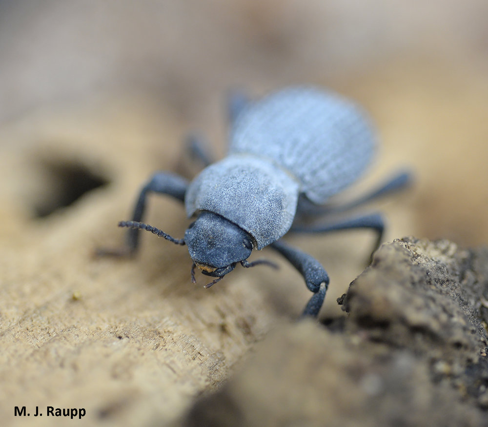 When not playing dead, the blue death-feigning beetle ambles about its Zoo habitat looking for a free lunch.