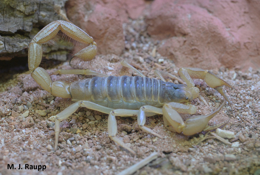 Pincer-like pedipalps at the front of the scorpion capture and hold prey while the sting at the rear end of the scorpion administers a dose of venom.