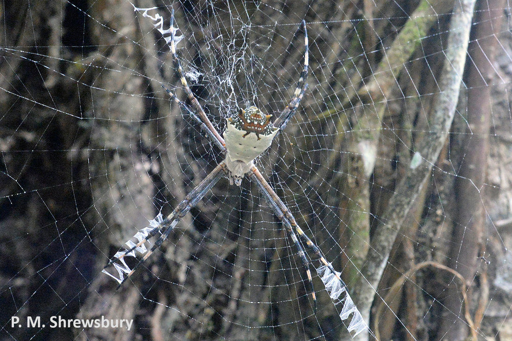 The rear end of this silver orb weaver resembles a fiendish creature. Can this confuse a predator or deflect a lethal attack away from the spider's head?