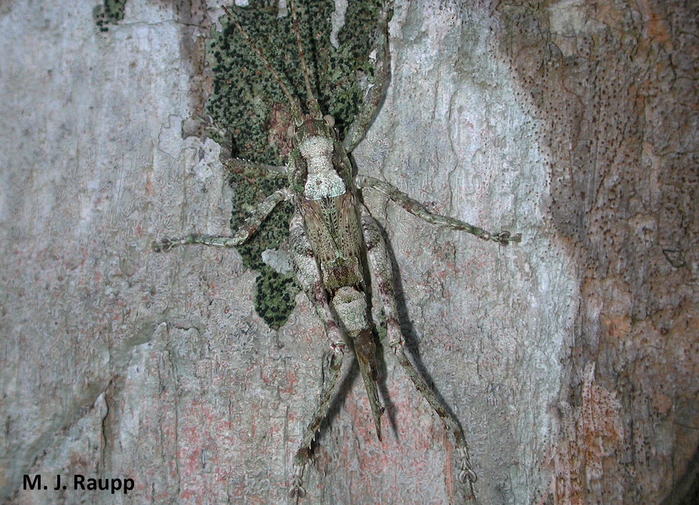 On the bark of a lichen laden tree, this katydid disappears in plain sight.
