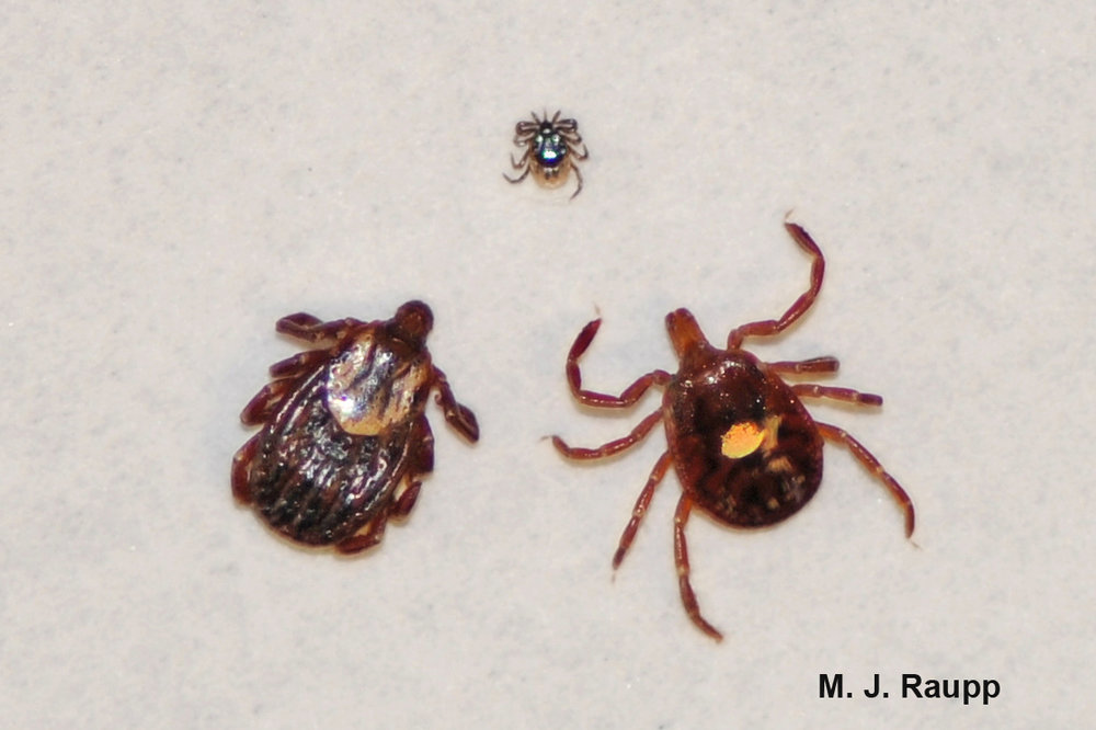 A trio of trouble. Clockwise from the top: Blacklegged Tick (vector of Lyme and other diseases), Lone Star Tick (vector of alpha-gal and other diseases), American Dog Tick (vector of Rocky Mountain spotted fever and others).