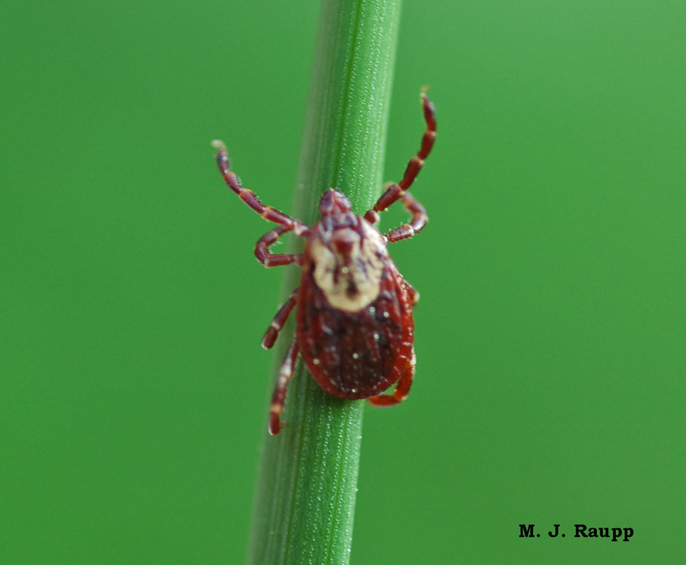 Ticks will climb up vegetation and reach out with forelegs to encounter a host. This behavior is called questing.