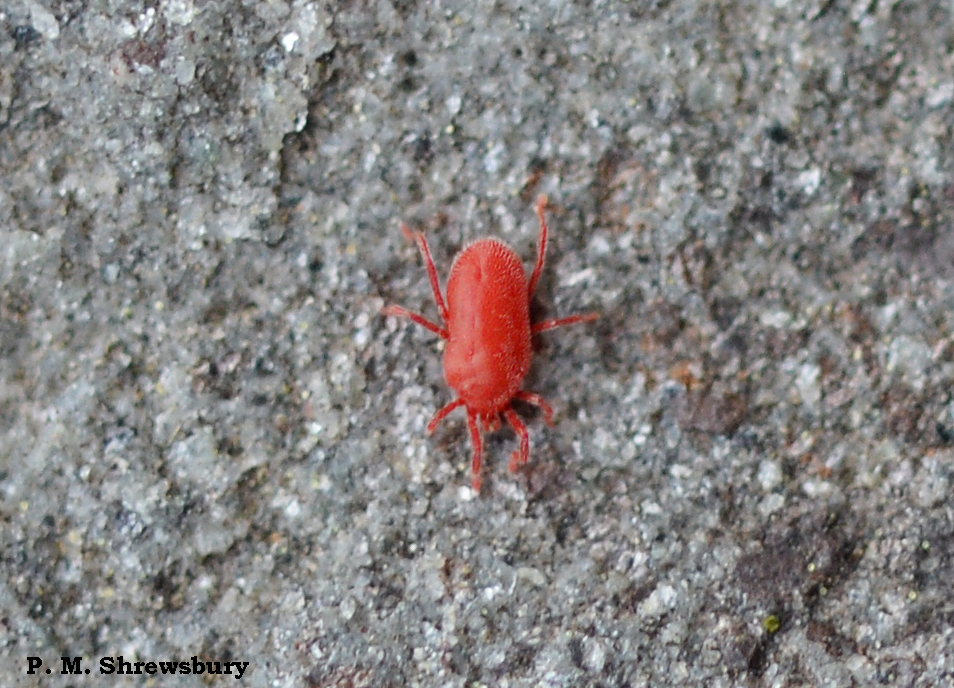 Tiny Red Spots Before My Eyes Clover Mites Bryobia Praetiosa Bug Of The Week