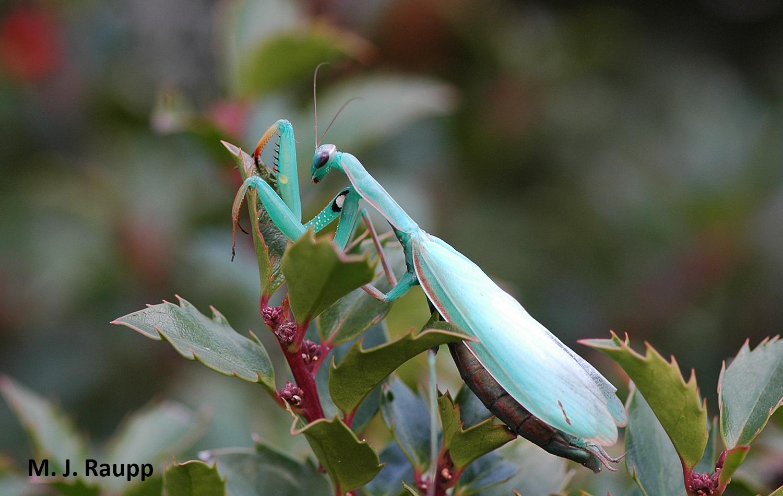 Old World Mantis With New World Tastes European Mantis Mantis