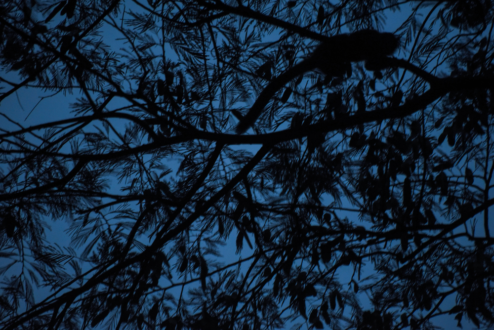 A night monkey is silhouetted against the sky as it begins its nightly forage for food in the jungle with its family.