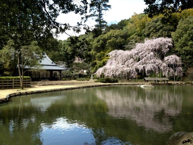 sogenji-cherry-blossoms.jpg