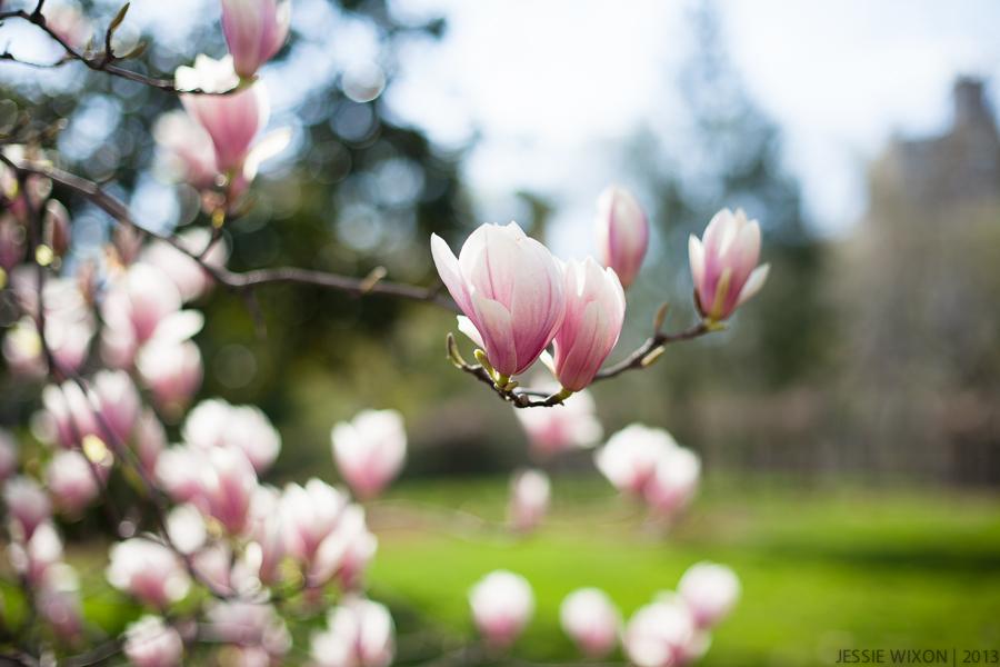 106/365    Gorgeous magnolia's