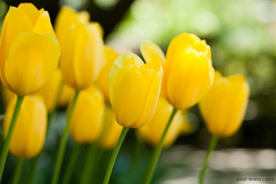 122/365  Tulips in Conservatory Garden