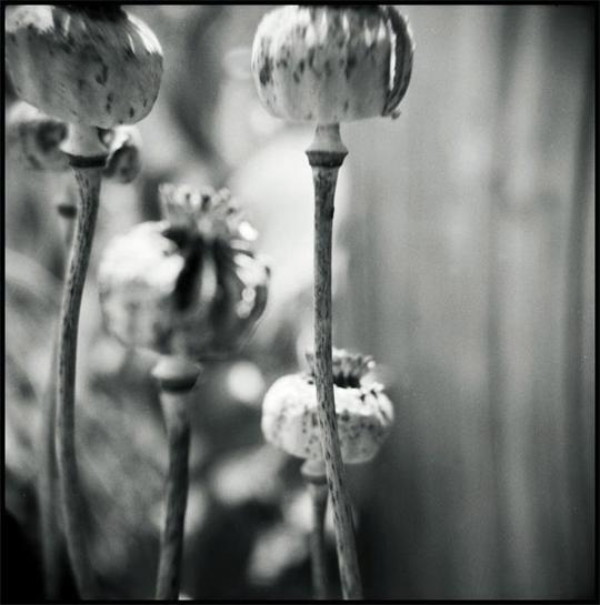 PoppyPods.jpg