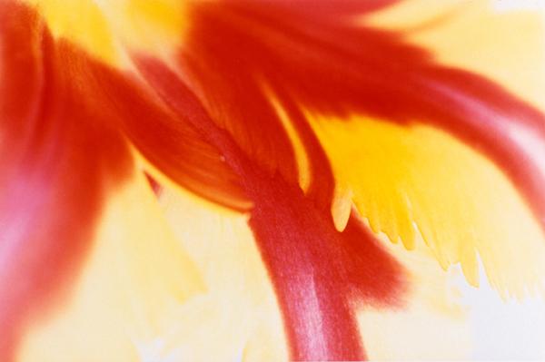 Tulip (Fame)