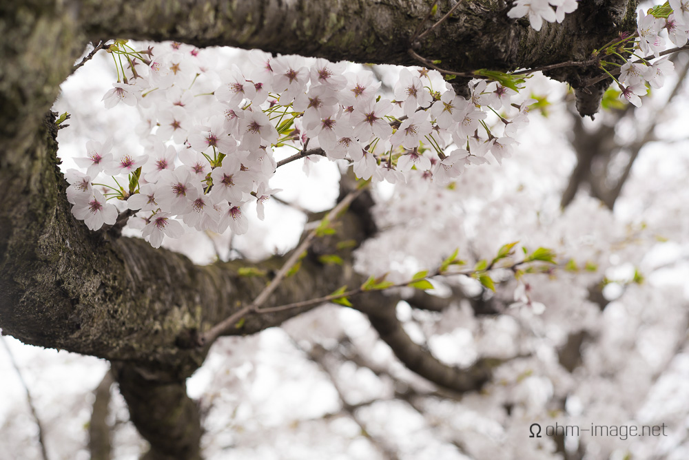 2015 Cherry Blossoms - 01.jpg