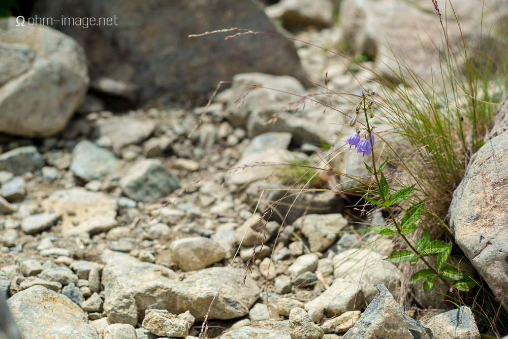 flowers - mountain bluebell.jpg