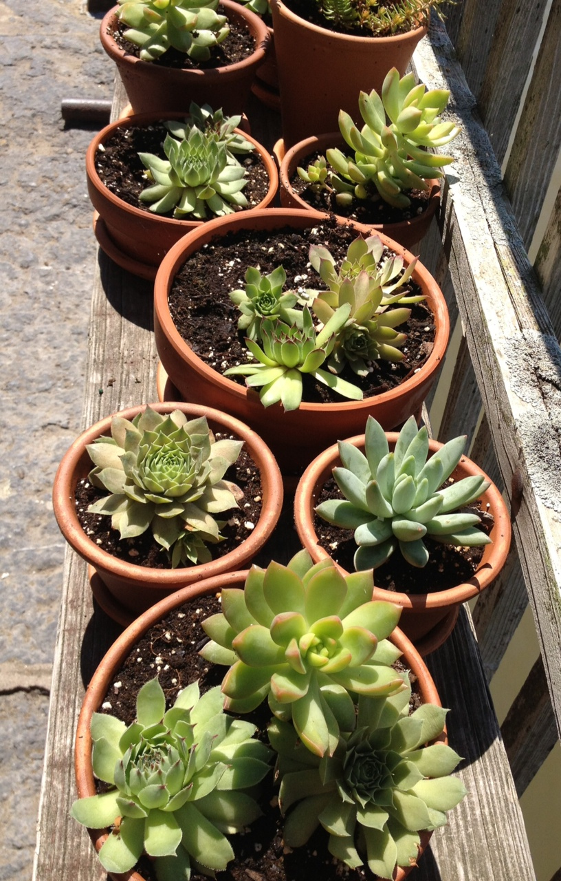 Beautiful Succulents at The Saugerties Lighthouse.