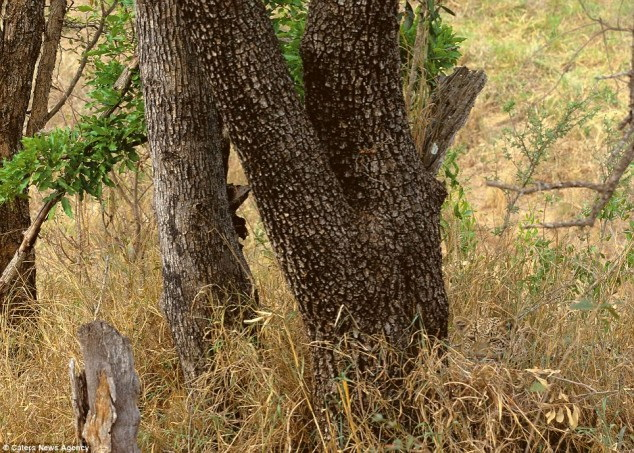 theres_a_leopard_in_this_photo.jpg