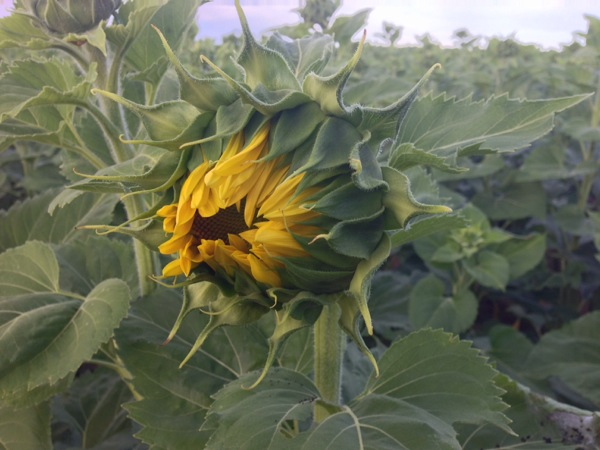 The Only Sunflower Blooming So Far