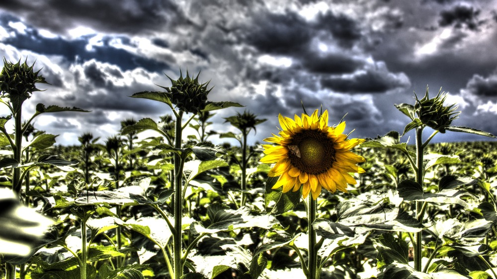 Sunflower with Attitude