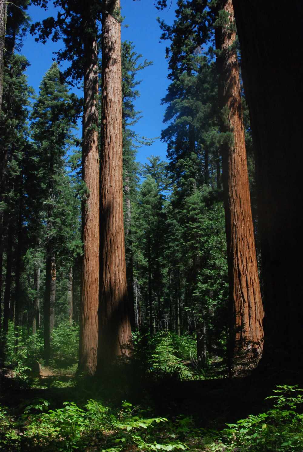 Sequoia Trees 2.jpg