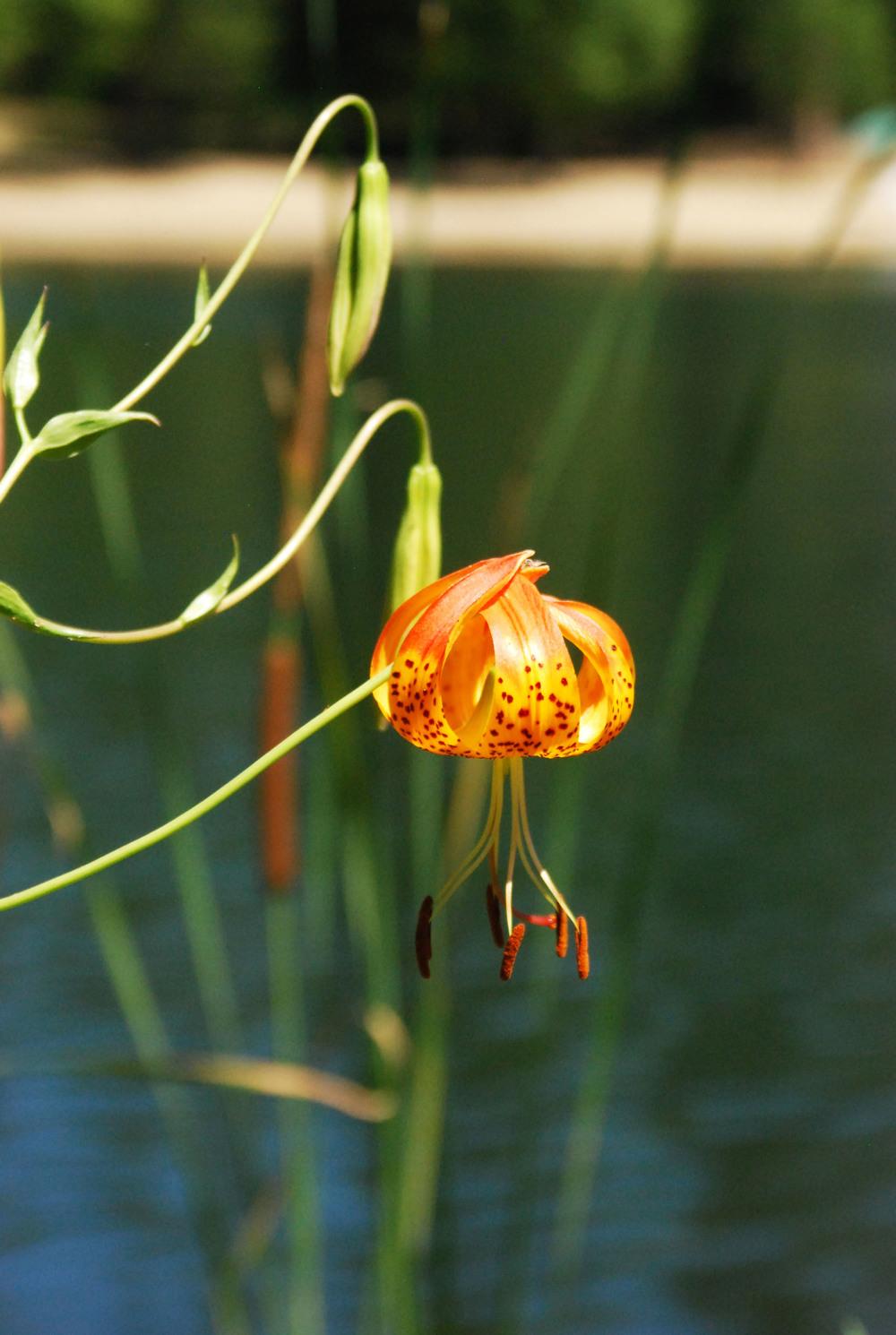 Wild Lily.jpg