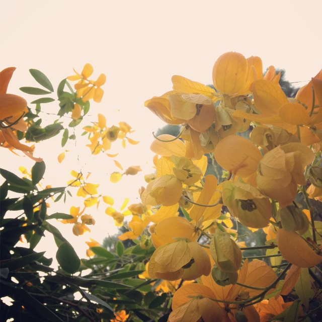Yellow Leaves.JPG