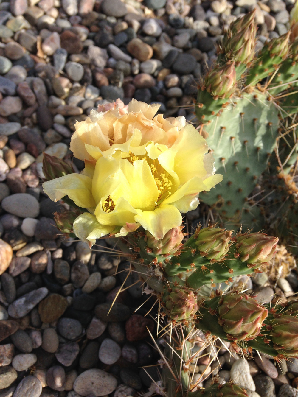 Cactus blooming in the backyard.