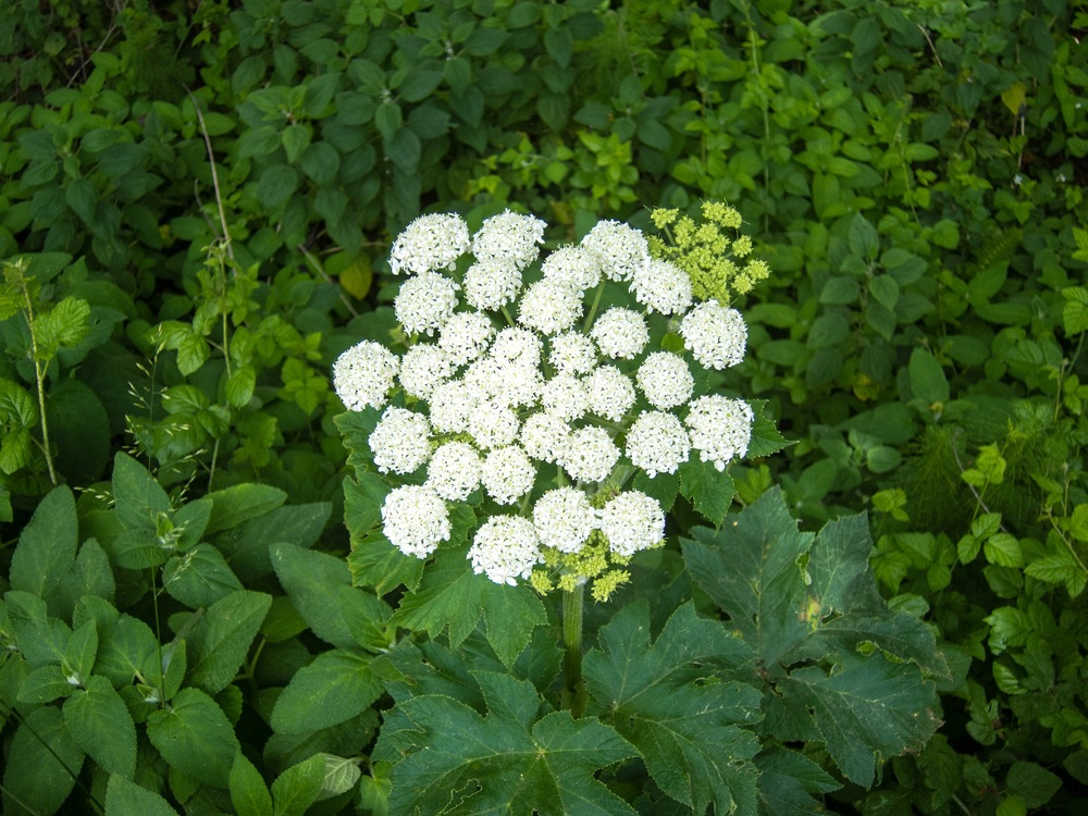 Queen Anne's Lace 2