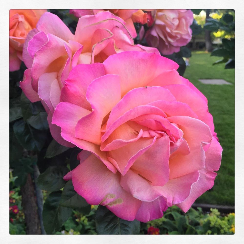 SCU Rose Gardens