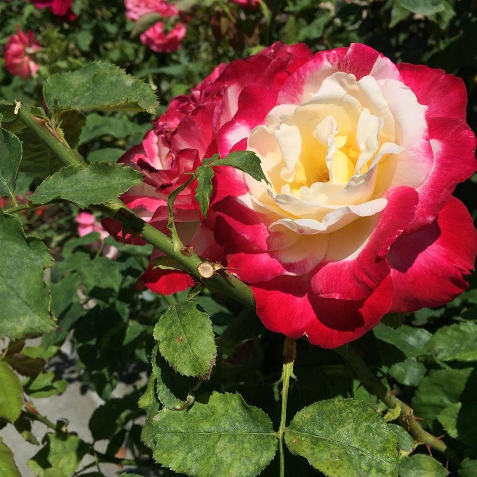 The famedSCU roses
