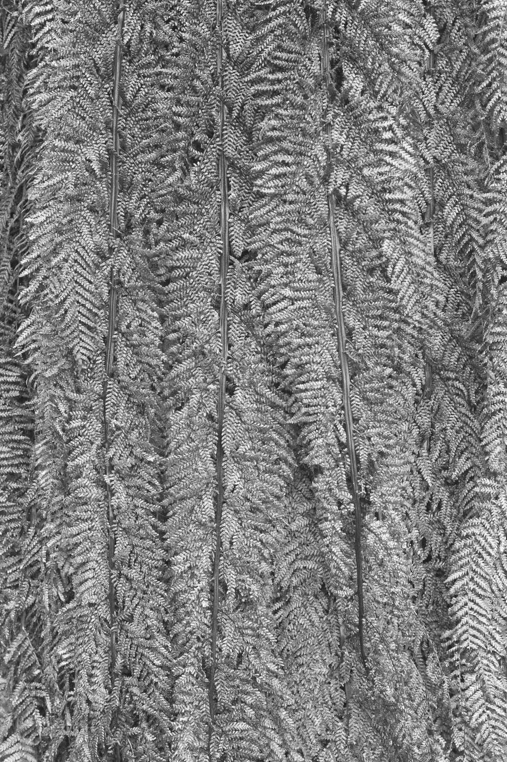 Warren-Hinder-Tree-Fern-Detail-Prince-Henry.jpg