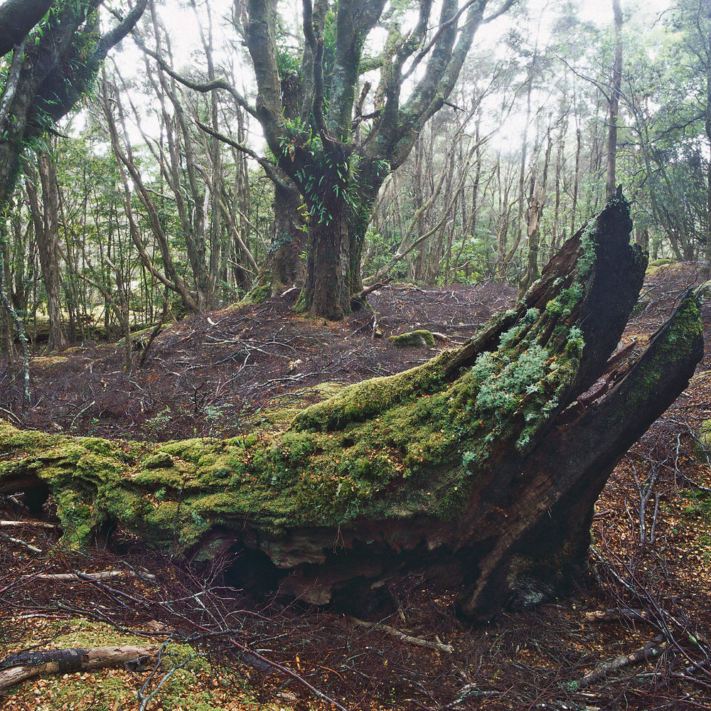 Warren-Hinder-Beech-Forest-Nth--East-Tas.jpg