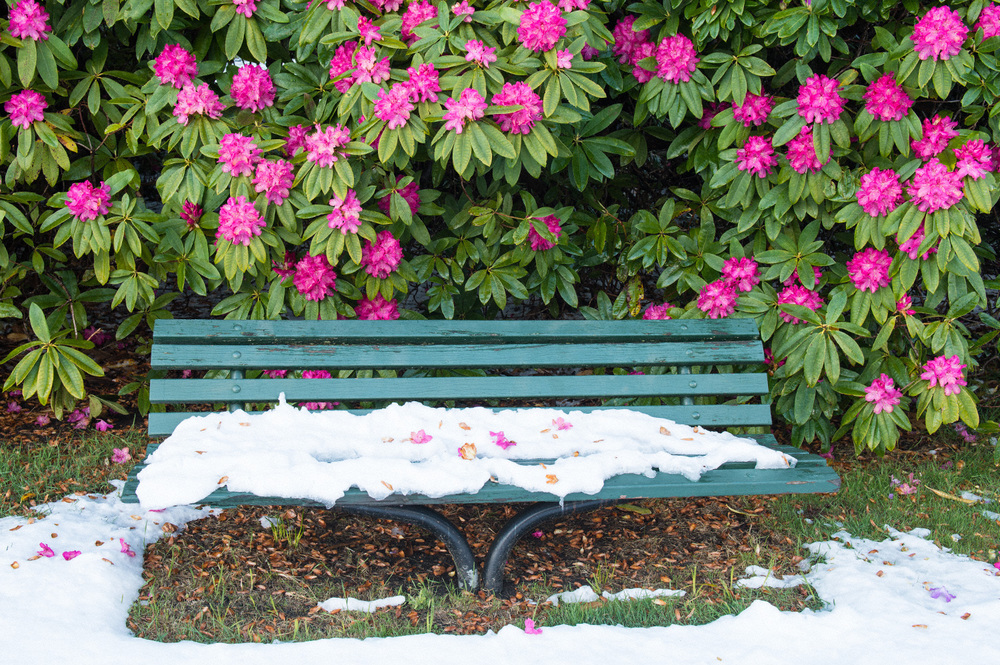 Warren-Hinder-Rhododendron-flowers-Spring-Snow-Bench.jpg