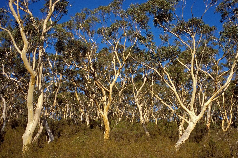 Warren-Hinder-LR-Snow-gums-Minni-Ha-ha-sunset.jpg