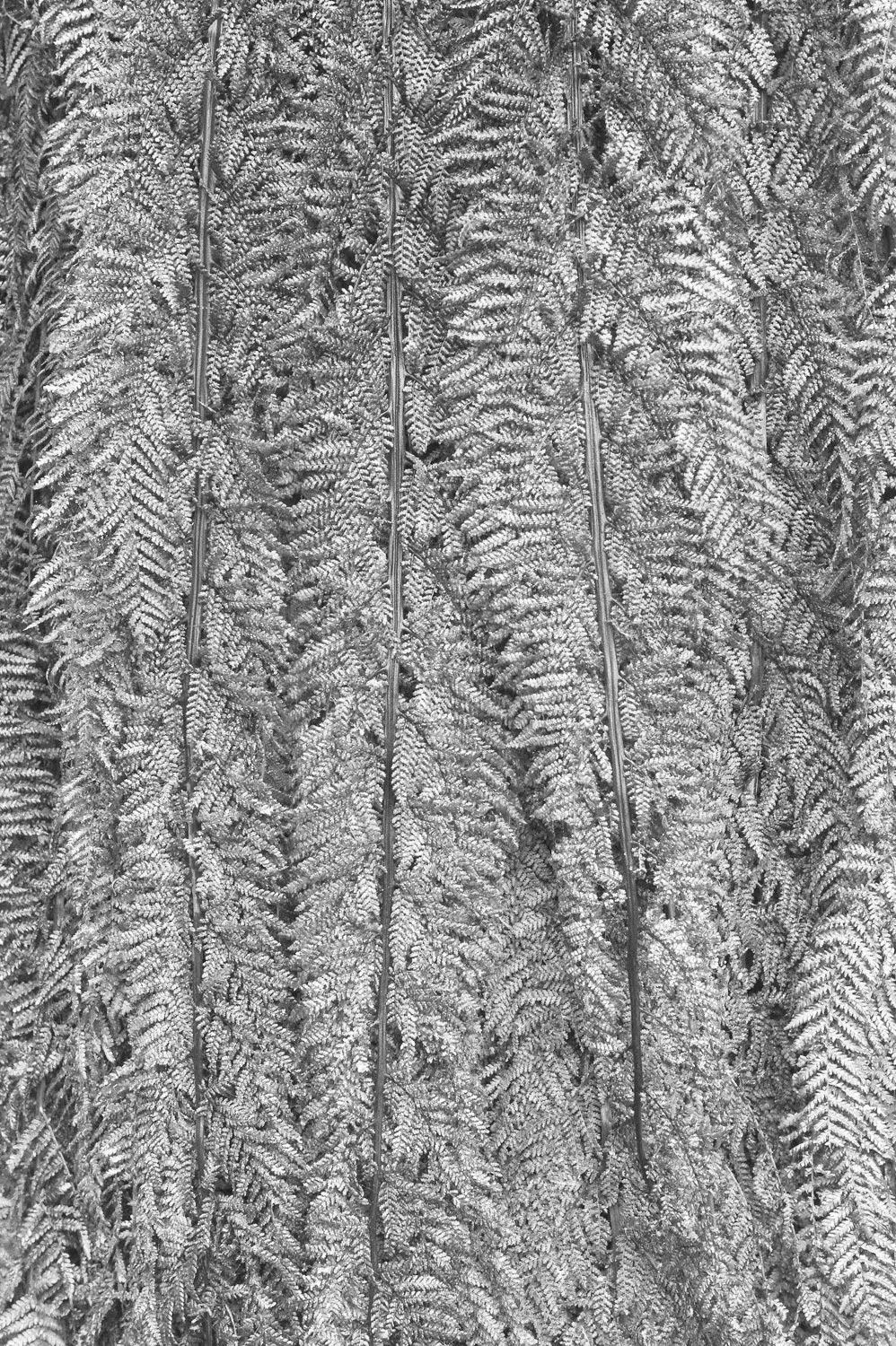 Warren-Hinder-LR-Tree-Fern-Detail-Prince-Henry.jpg