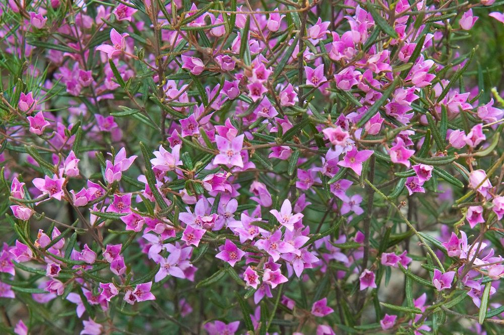 Warren-Hinder-LR-Boronia-Mt-Hay.jpg