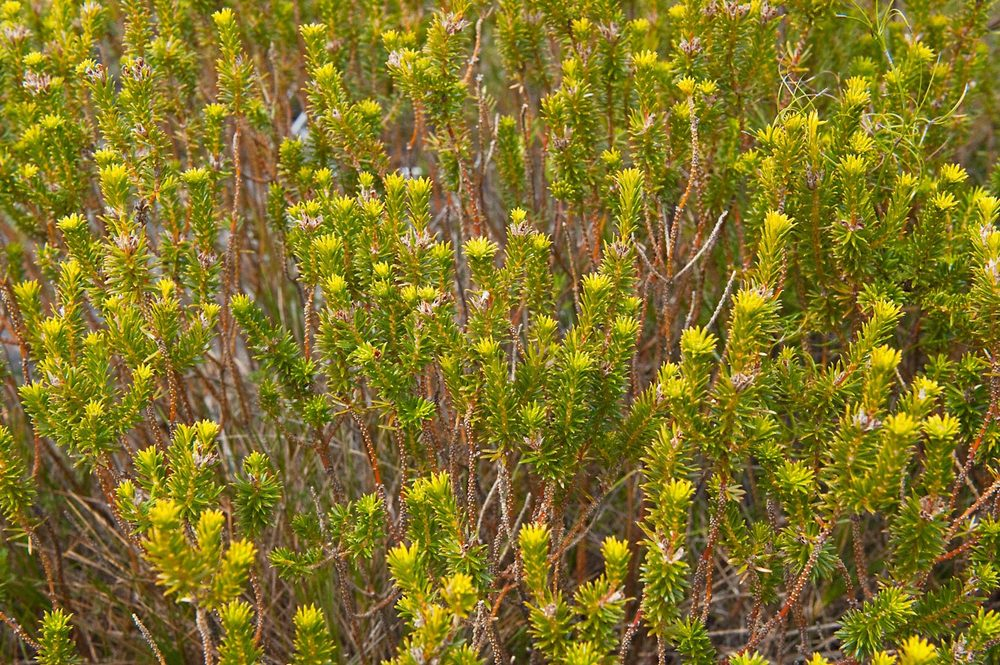 Warren-Hinder-LR-Heathland-plant-Mt-Hay.jpg