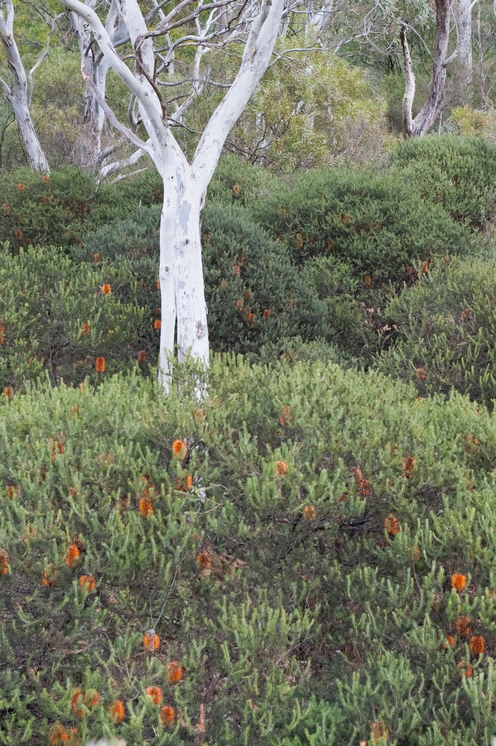 Warren-Hinder-Orange-Banksia-Gums-on-Walk.jpg