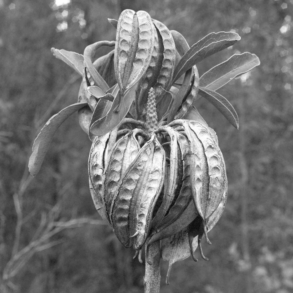 Warren-Hinder-LR-Waratah-Seed-Pods.jpg