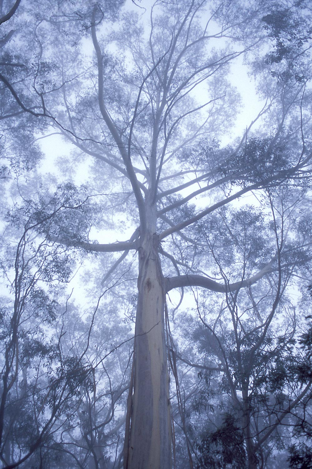 Warren-Hinder-Gums-in-Mist-Leura-.jpg