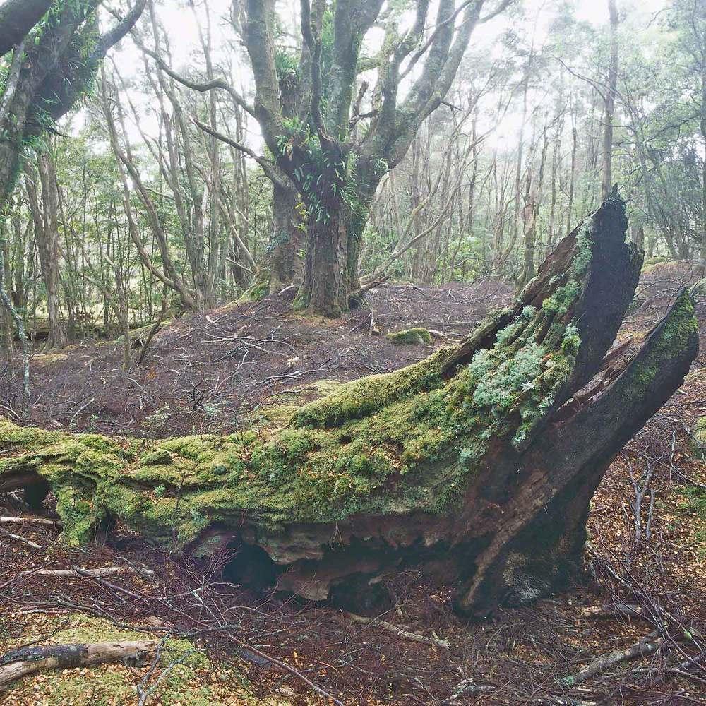 Warren-Hinder-LR-Beech-Forest-Nth--East-Tas.jpg