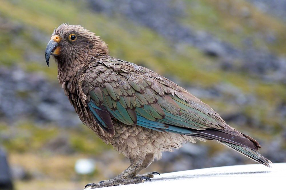Kea South Island New Zealand