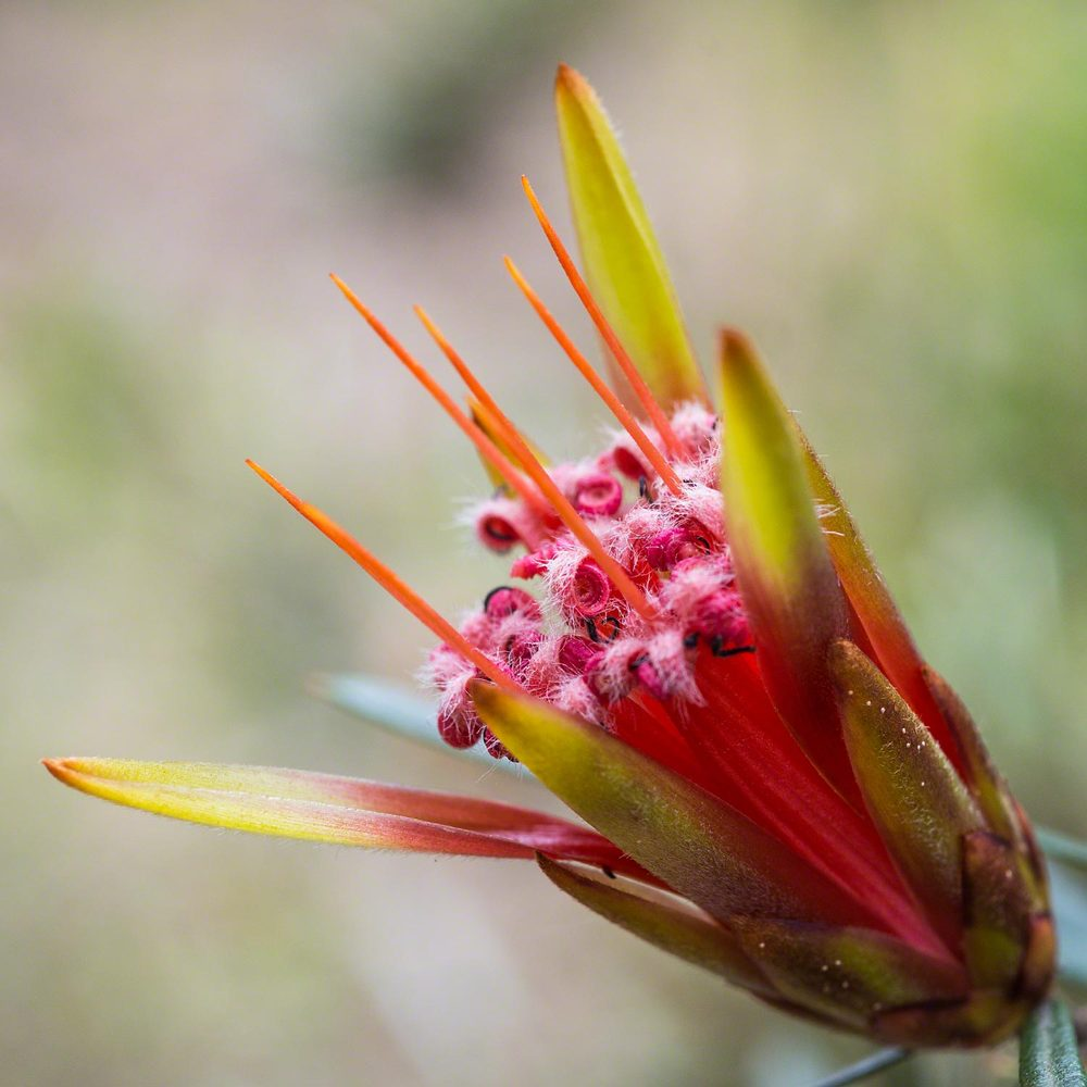 Lambertia.formosia   Mountain Devil