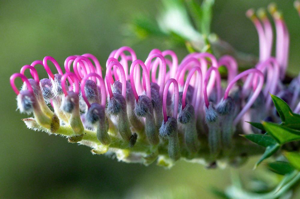 Grevillia.acanthifolia