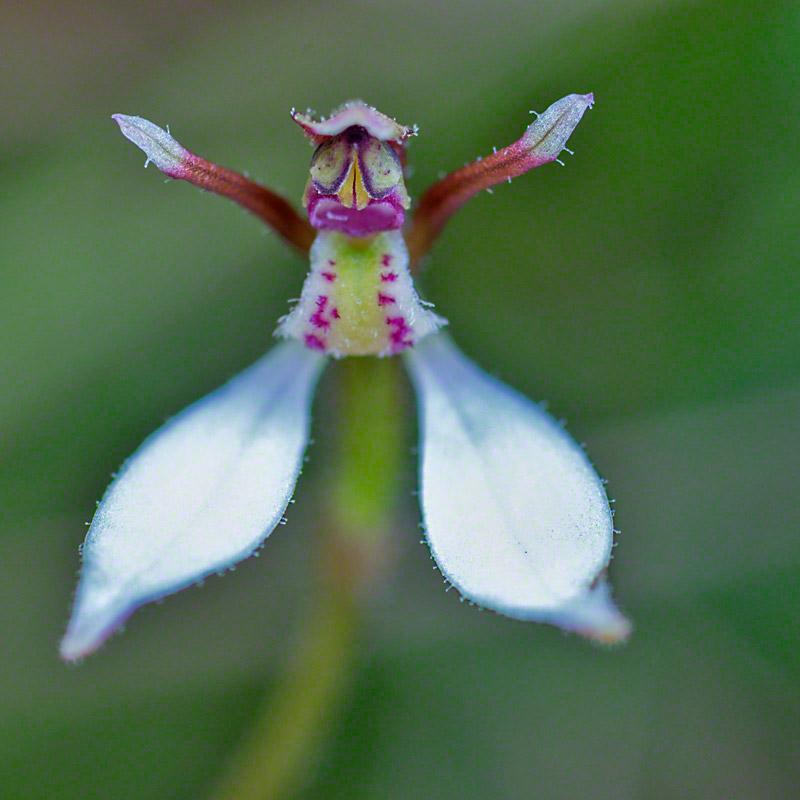 Eriochilus.petricola