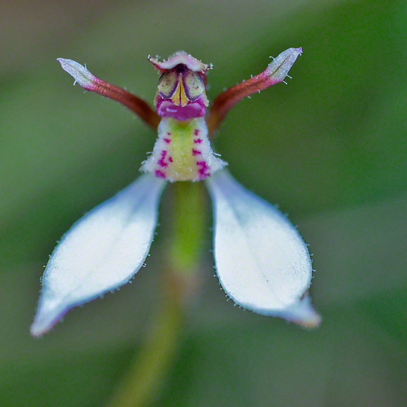 Warren-Hinder-Eriochilus.petricola.jpg