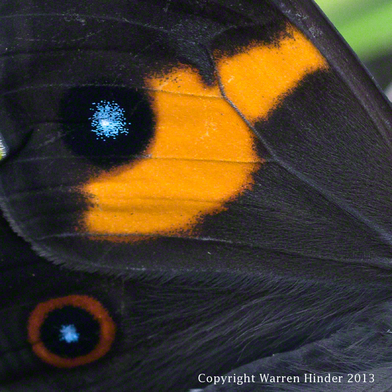 Warren-Hinder-Copyright-2013-Butterfly-wing-detail.jpg