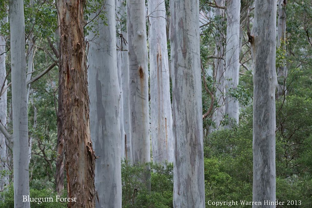 Bluegum Forest Detail