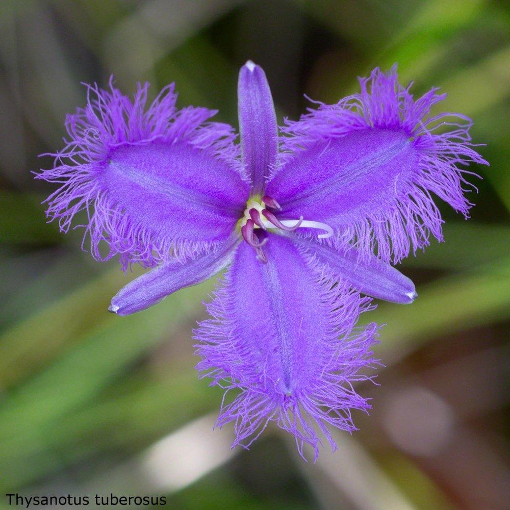 Thysanotus tuberosus Fringe Lilly